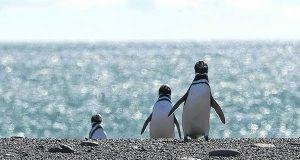 PINGUINOS-RESERVA-TURISTAS-PREGUNTABAN-EMPETROLADOS CLAIMA20100919 0140 33